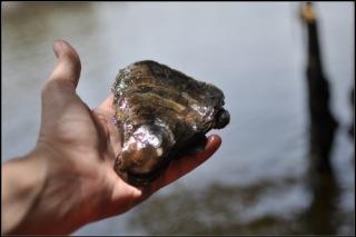 Huître pêchée dans la mangrove et détroquée sur place.
